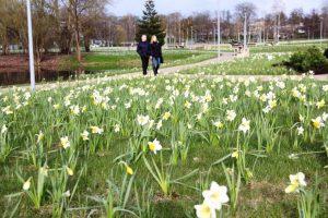 Druskininkai kviečia į Narcizų žydėjimo šventę: 220 tūkstančių narcizų jau skleidžia žiedus 1