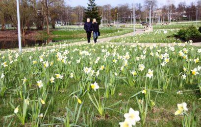 Druskininkai kviečia į Narcizų žydėjimo šventę: 220 tūkstančių narcizų jau skleidžia žiedus