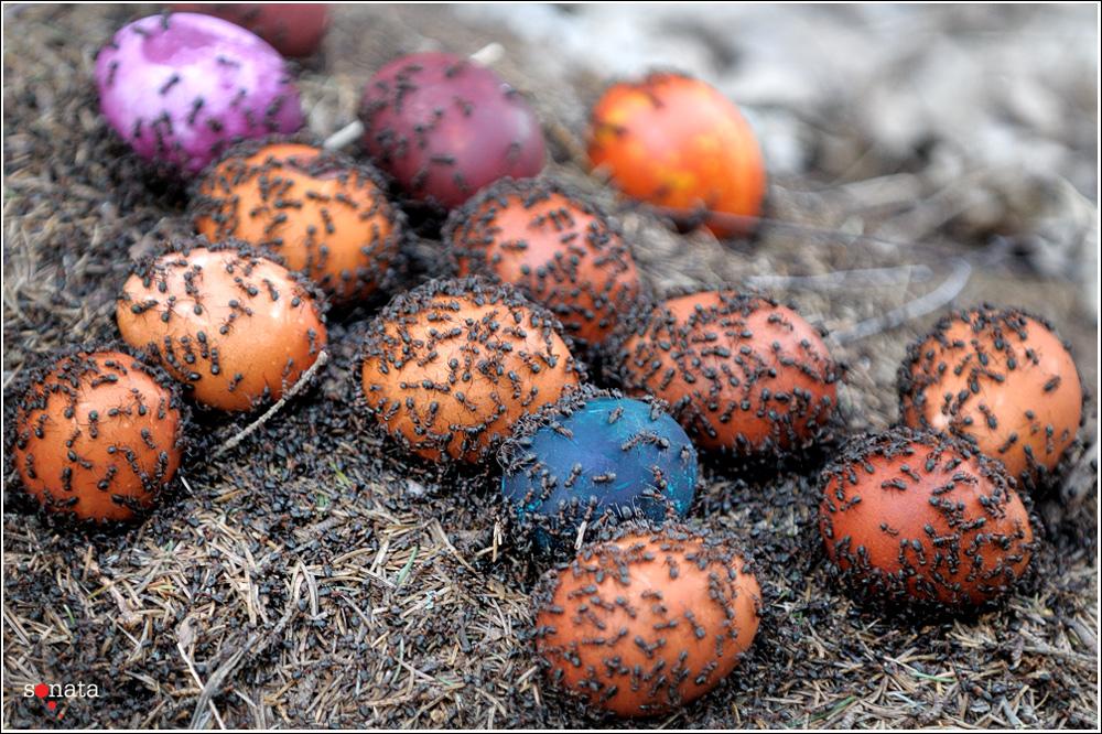 Išradingumui nėra ribų: kiaušiniai marginami net ir skruzdėlyne