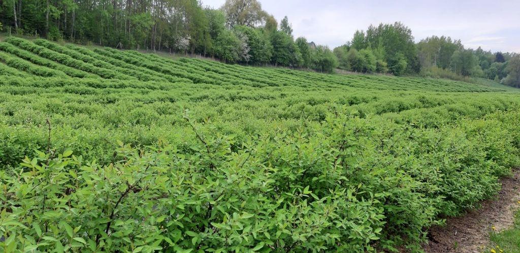 Alytaus rajone įsikūrę kauniečiai ėmėsi auginti ypatingas uogas 2