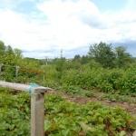 Dėl nelegalių daržų Jaunimo parke - savivaldybės įspėjimas 3