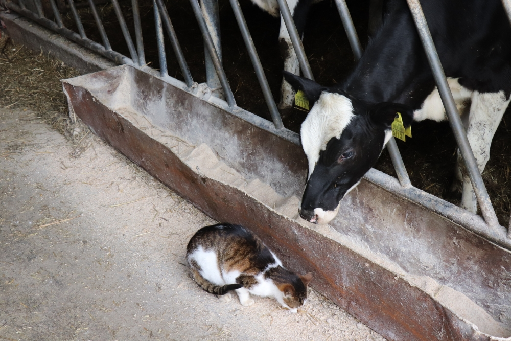 Vis daugiau Alytaus rajono ūkininkų leidžiama tiekti pieną 8