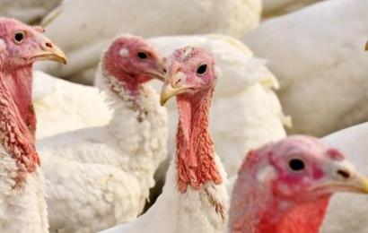 Tarnybos įspėja: Paukščių gripas plinta žaibiškai