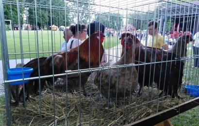 Veterinarijos tarnyba įspėja: naminiai paukščiai privalo būti uždaryti