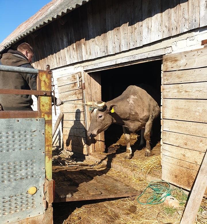 Vis daugiau Alytaus rajono ūkininkų leidžiama tiekti pieną 2