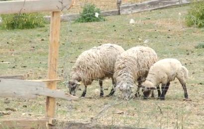 Alytaus rajono ūkiuose šeimininkauja vilkai, nukentėję gali kreiptis paramos 1