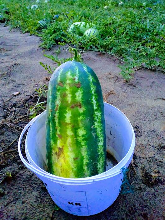 Alytaus rajono arbūzų augintojo derlius taps mokslinių tyrinėjimų objektu 5