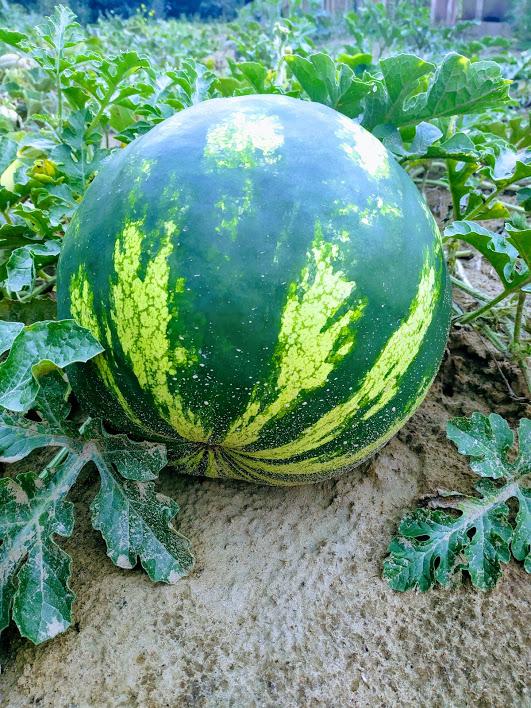 Alytaus rajono arbūzų augintojo derlius taps mokslinių tyrinėjimų objektu 6
