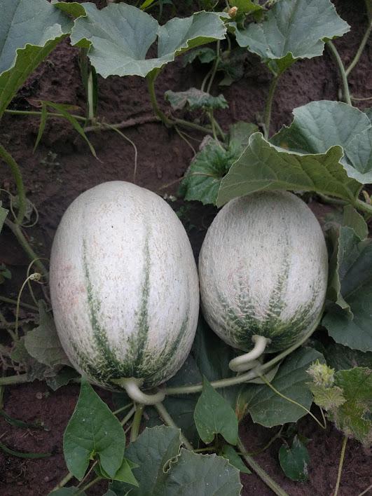 Alytaus rajono arbūzų augintojo derlius taps mokslinių tyrinėjimų objektu 7