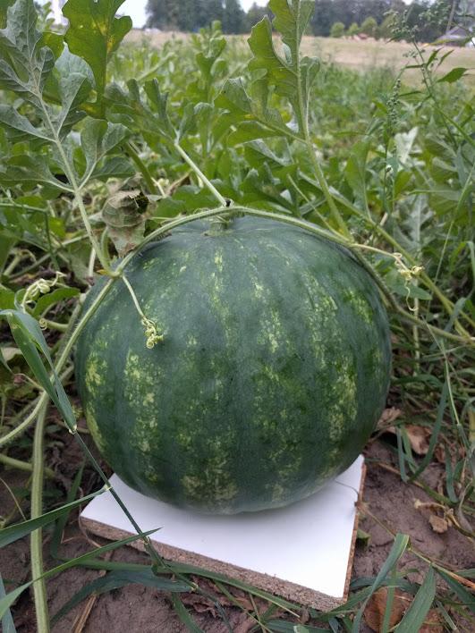 Alytaus rajono arbūzų augintojo derlius taps mokslinių tyrinėjimų objektu 8