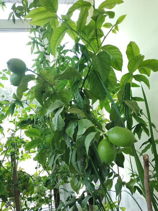 Alytaus rajono arbūzų augintojo derlius taps mokslinių tyrinėjimų objektu 13