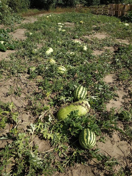 Alytaus rajono arbūzų augintojo derlius taps mokslinių tyrinėjimų objektu 10
