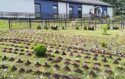 Ūkininko dovana Alytaus rajonui – tūkstančiai hiacintų